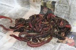 wormsy